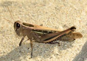 locust_2